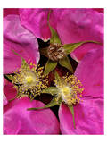 Beach rose rugosa pink Art