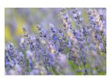 Lavender on the Plateau of Valensole, Puimoisson, Provence-Alpes-Cote d'Azur, France Prints