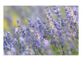 Lavender on the Plateau of Valensole, Puimoisson, Provence-Alpes-Cote d'Azur, France Print