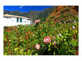Plantation with Protea Plants near Rosario, North Coast, Madeira Island, Portugal Poster