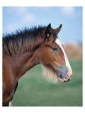 Shire horse Posters