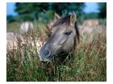 Przewalski's wild horse (Equus przewalskii gemini) Print