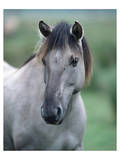 Przewalski's wild horse (Equus przewalskii gemini) Poster