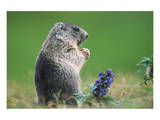 Alpine marmot (Marmota marmota) Print
