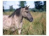 Przewalski's wild horse (Equus przewalskii gemini) Art