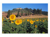 Sunflower field and cottage, San Giovanni d'Asso, Province of Siena, Tuscany, Italy Print