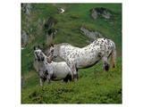 Pinzgauer Noriker horses, Austria Poster