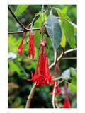 Fuchsia in Sete Fontes Park near Rosais, Sao Jorge Island, Azores, Portugal Posters