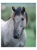 Przewalski's wild horse (Equus przewalskii gemini) Posters