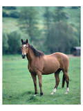 English thoroughbred horse Prints