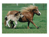Shetland pony mare with foal Poster