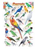Parrots Posters