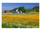 Flower Field with Farmhouse in Fredvang, Moskenesoya Island, Lofoten Islands, Norway Poster