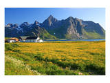 Flower Field with Farmhouse on Flakstadpollen Mountain Range, Flakstadoya Island, Norway Posters