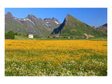 Flower Field near Fredvang, Moskenesoya Island, Lofoten Islands, Norway Prints