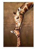 Giraffe Mother's Kiss Poster
