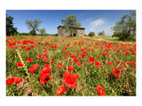 Poppy Field in front of a Country House on the Hills near Orvieto, Province of Terni, Umbria, Italy Print