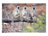 Gray Langurs on Tree Prints