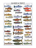 Salmon and Trout Poster
