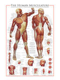 The Muscular System Posters