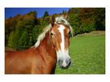 Horses at Hintergraseck, Garmisch-Partenkirchen, Upper Bavaria, Bavaria, Germany Prints