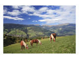 Haflinger horses on a mountain pasture, Valle d'Isarco, Dolomites, Province of Trento, Italy Posters