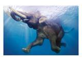 Elephant Underwater Poster
