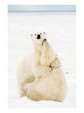 Playful Polar Bears Posters