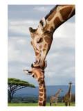 Giraffe Kissing Baby Affischer