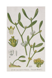 Mistletoe, from 'A Curious Herbal', Published in Nuremburg in 1757 Giclee Print by Elizabeth Blackwell