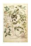 Old Man's Beard or Traveller's Joy - Clematis Vitalba Giclee Print by Leonhard Fuchs