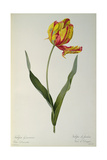 Tulipa Gesneriana Dracontia, from `Les Liliacees', 1816 Giclee Print by Pierre-Joseph Redouté