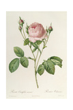 Rosa Centifolia Carnea, From'Les Roses', 19th Century Giclee Print by Pierre-Joseph Redouté