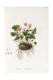 Ivy-Leaved Cyclamen - Cyclamen Neapolitanum, 1811-1838 Giclee Print