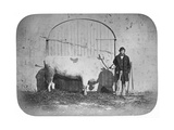 The Rose of the Suir', a Prize-Winning Bullock, Waterford, 1863 Giclee Print by J. Pender