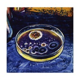 Fleming Noticed That a Fungus Had Killed Nearby Germs Giclee Print