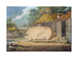 A Leicester Sow, 2 Years Old, the Property of Samuel Wiley Giclee Print by William Henry Davis