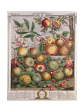 May, from 'Twelve Months of Fruits' Giclee Print by Pieter Casteels