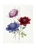 Cultivated Double Varieties of Anemone Coronarial, 1843-49 Giclee Print by Jane W. Loudon