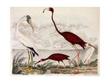 Wood Ibis, Scarlet Flamingo, White Ibis, C.1828-1829 Giclee Print by Alexander Wilson