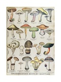 Botanical Plate Depicting 'Good and Bad Mushrooms', C.1900 Giclee Print