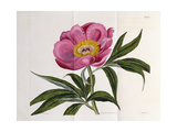 Illustration, Number 2264, from 'The Botanical Magazine', 1787-1826 Giclee Print by William Curtis