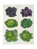 Cabbages: Tab. 1 from the `Album Benary', C.1876 Giclee Print by Ernst Benary