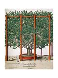 Ficus Indica Eystetten Fis Ex Uno Folio Enata Lu Xurians, 1613 Giclee Print by Elias Gottleib Haussmann