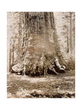 Trunk of the 'Grizzly Giant', Mariposa Grove, 33 Feet Diameter, 1861 Giclee Print by Carleton Emmons Watkins