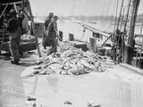 Unloading Gorton's Codfish, Gloucester, Massachusetts, C.1905 Photographic Print
