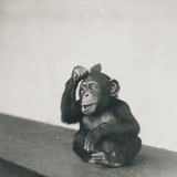 A Young Chimpanzee, Johnnie, Playing with a Brush, 1923 Photographic Print by Frederick William Bond