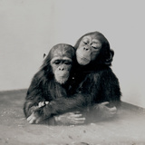 Johnnie and a Friend, Two of ZSL London Zoo's Chimpanzees, 1923 Photographic Print by Frederick William Bond