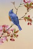 Pájaro azul sobre rama de cerezo en flor Carteles de plástico