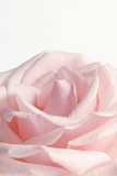 Powder Pink Rose I Signe en plastique rigide